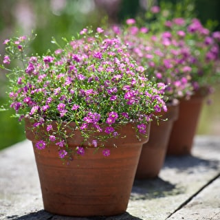 Gypsophila muralis 'Gypsy Deep Rose'