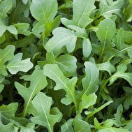 Salad Rocket 'Serrata'