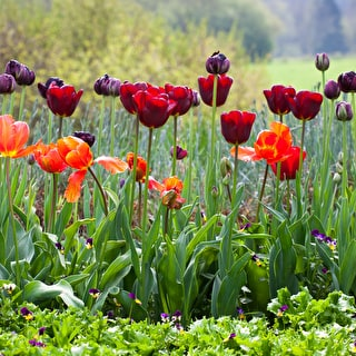 Sarah's Favourite Tulip Collection