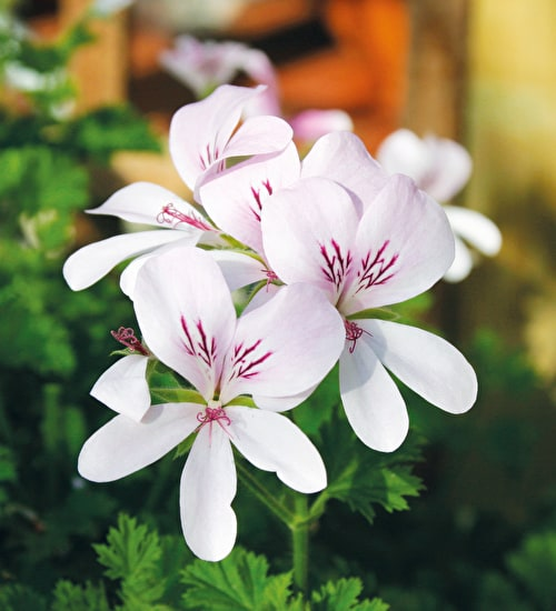Pelargonium 'Prince of Orange'
