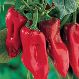 Sweet Pepper 'Marconi Rosso'