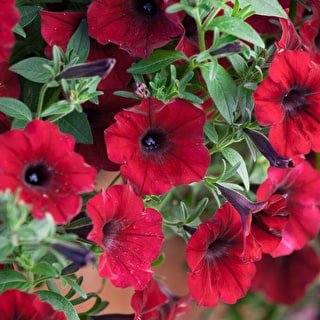 Petunia 'Tidal Wave Red Velour' F1