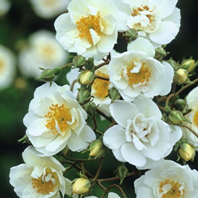 Rose 'Rambling Rector'