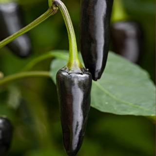 Chilli 'Black Hungarian'