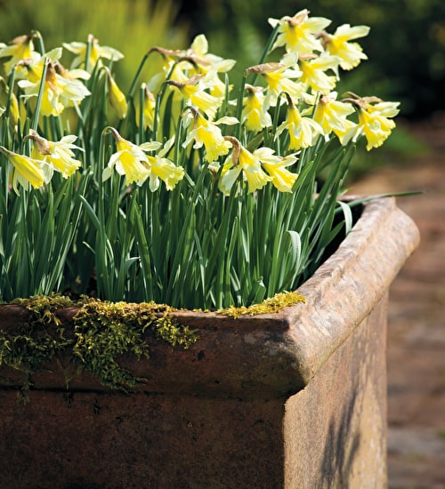 Narcissi for Pots Collection