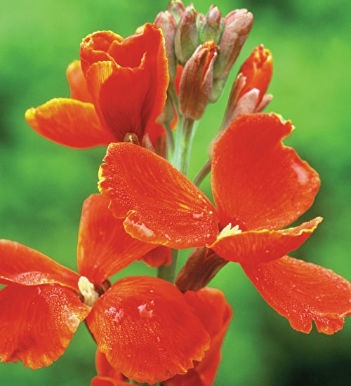 Wallflower 'Fire King'
