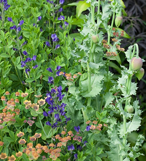 Grow together: Bupleurum and Baptisia