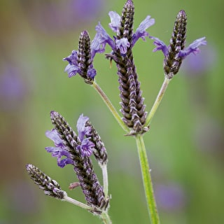 Lavender multifida 'Spanish Eyes'