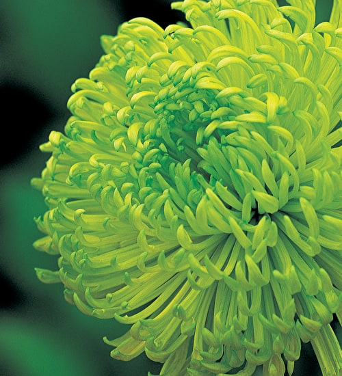Chrysanthemum 'Anastasia Green'