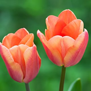 Plum and Apricot Tulip Collection