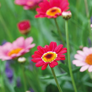 Argyranthemum frutescens 'Grandaisy Deep Red'