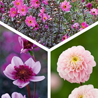 Shell Pink Dahlia Collection