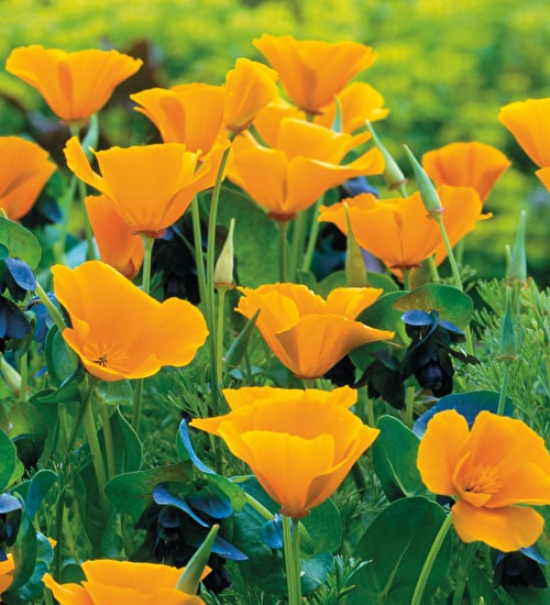 Cerinthe and Eschscholzia Collection