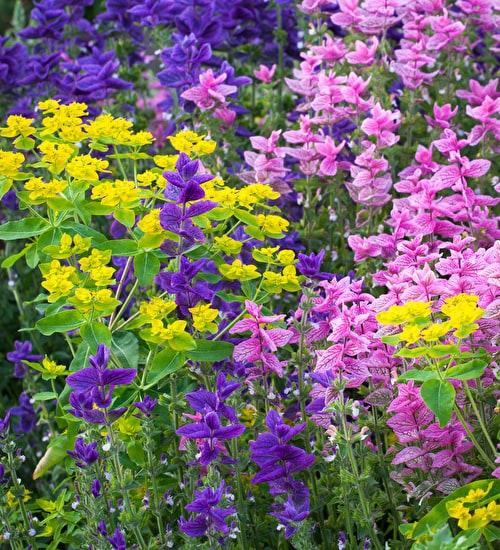 Salvia 'Blue Clary' and 'Pink' SPECIAL OFFER