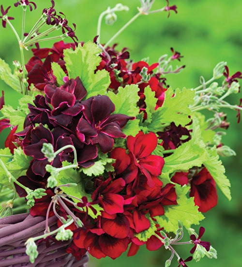 Venetian-flowered Pelargonium Collection