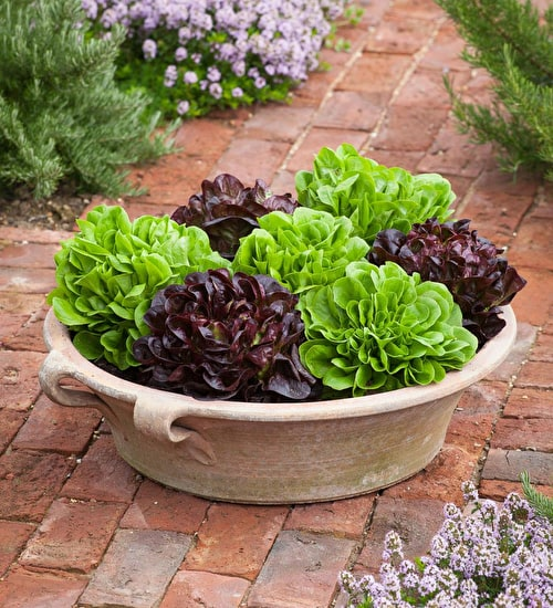 Salanova Lettuce Pot Collection
