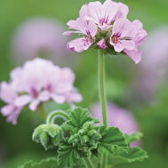 Pelargoniums for Iced Teas and Tisanes Collection