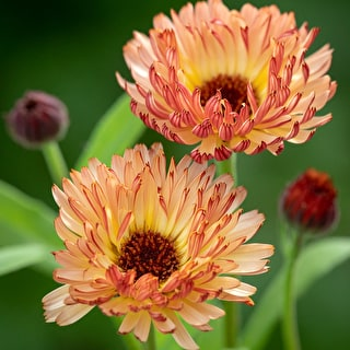 Calendula officinalis 'Sunset Buff'