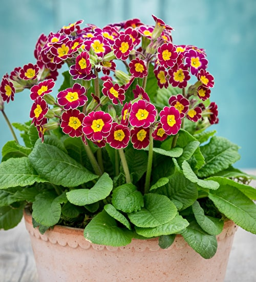 Polyanthus 'Victorian Lilac Lace' F1