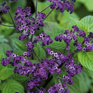 Heliotrope 'Midnight Sky'