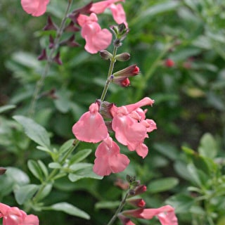 Salvia greggii 'Salmon Dance'