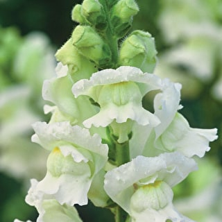 Antirrhinum 'White Giant'