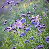 Verbena and Scabious Collection