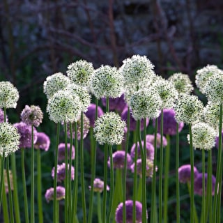 Allium 'White Giant'