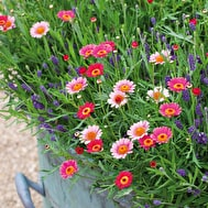 Argyranthemum and Lavender Collection