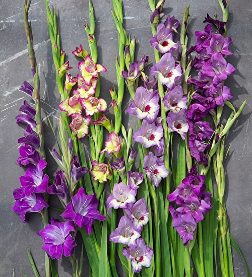 Perfect Petite Gladioli Collection