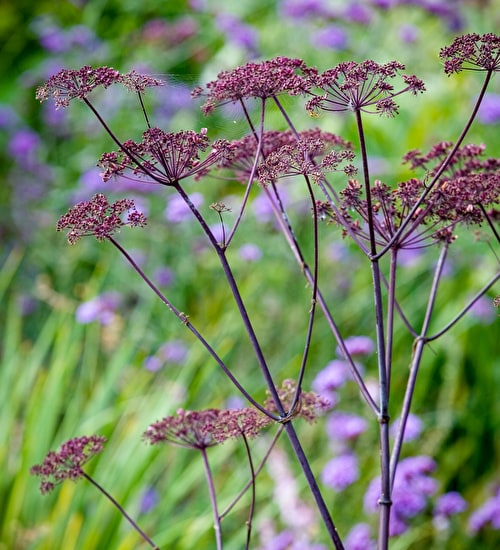 Angelica sylvestris purpurea 'Vicar's Mead'