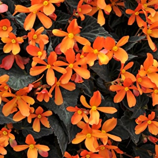 Begonia B11 'Glowing Embers'