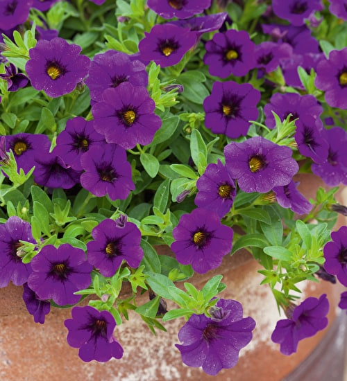 Calibrachoa Cabaret Deep Blue