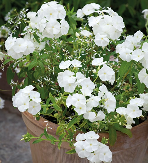 Phlox and Euphorbia Pot Collection