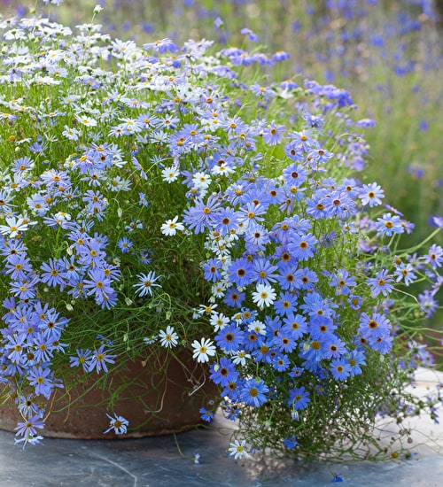 Brachyscome multifida 'Blue and White mix'