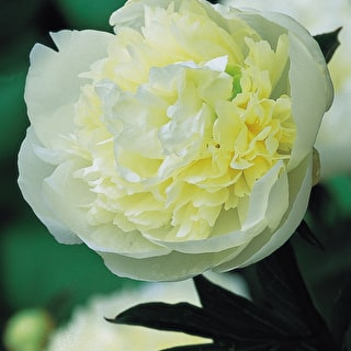Bestselling Peony Collection
