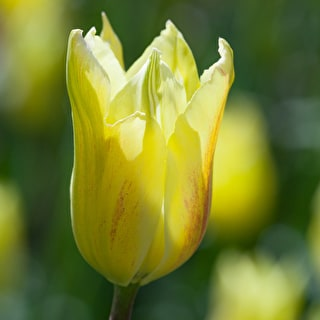 Tulip 'First Proud'