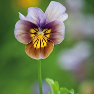 Viola 'Frosted Chocolate'