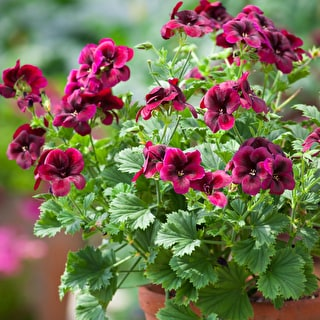 Pelargonium 'Regalia Chocolate'