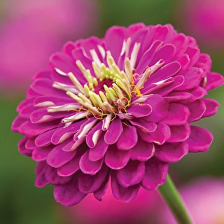 Deep Zinnia Mix