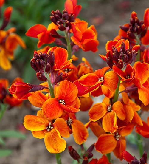 Wallflower 'Sunset Bronze Shades'