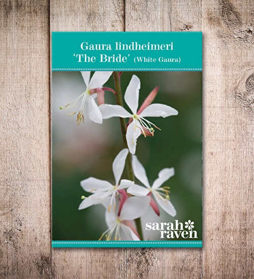 Gaura lindheimeri 'The Bride'