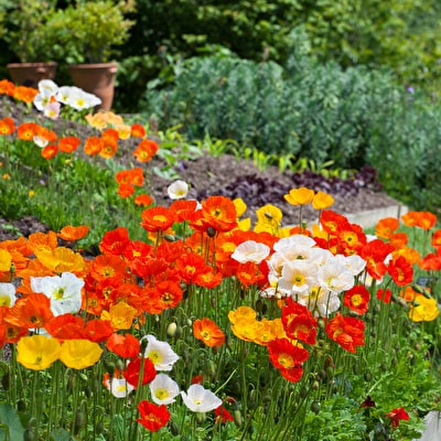 Papaver nudicale 'Champagne Bubbles Mix' F1