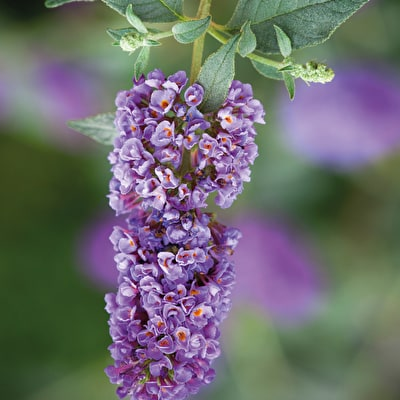 Buddleia 'Dreaming Purple'