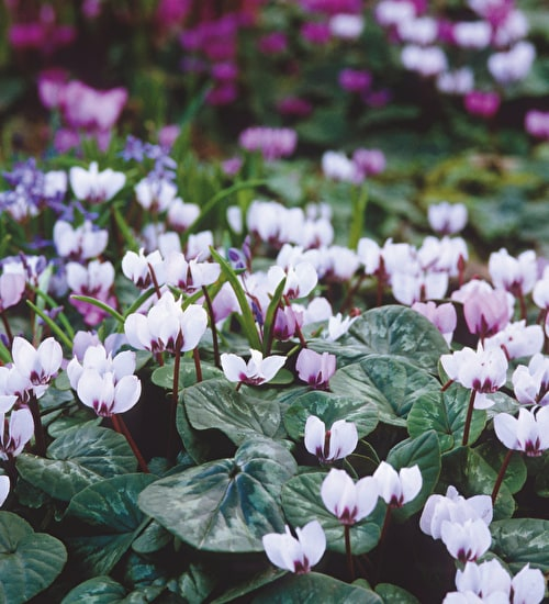 Cyclamen hederifolium 'Silver Leaved Form'