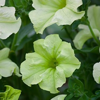 Petunia 'Sophistica Lime Green' F1