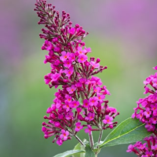 Buddleia 'Hot Raspberry'