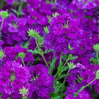 Verbena 'Enchantment Purple'
