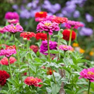 Zinnia 'Giant Dahlia Mix'