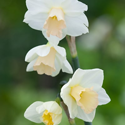 Narcissus 'Sweet Eyes'